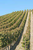 Wine Field Royalty Free Stock Photography
