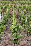 Wine field Royalty Free Stock Photo
