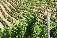 Wine field Royalty Free Stock Images