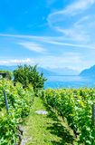 Wine Fieldby lake in the Lavaux Vineyards. Stock Photography