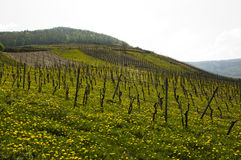 Wine fields Mosel Stock Images
