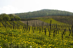 Wine fields Mosel Royalty Free Stock Photography