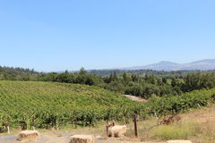 Wine fields in Sonoma Royalty Free Stock Photo
