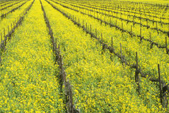 Wine Fields in Spring. Napa Valley, California stock image