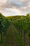 Wine fields in stuttgart germany Stock Image