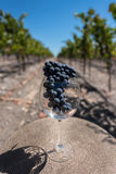 Wine glass with a bunch of grapes on table in vineyard Royalty Free Stock Image