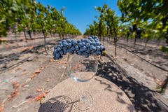 Wine glass with a bunch of grapes on table in vineyard Royalty Free Stock Photo