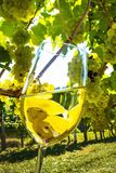 Wine glass in vineyard. A glass of white wine with grapes in the vineyard of a winemaker Royalty Free Stock Photos