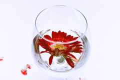Wine glass with water and red gerbera Stock Photo