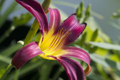 Wine and Gold Perennial Day Lily. This is a beautiful burgundy wine and gold colored perennial day lily royalty free stock photo