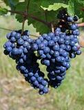 Wine grape Royalty Free Stock Photography