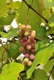 Wine grape Stock Image