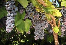 Wine grape Royalty Free Stock Photos
