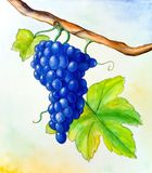 Wine grape. And leaf. Hand painted illustration Stock Image
