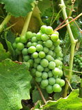 Wine grape Royalty Free Stock Photo