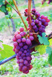 Wine grape Stock Photography