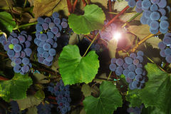 Wine grape Royalty Free Stock Photography