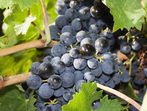 Wine grape. Bunch of wine grapes in a vineyard Stock Photo