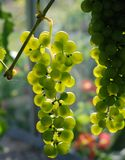 Wine grape against the light Stock Photography