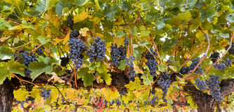 Wine grape beautiful Royalty Free Stock Photo