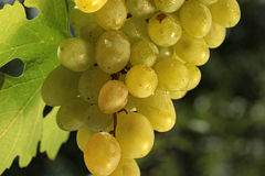 Wine grape Royalty Free Stock Images