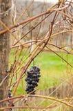 Wine grape Stock Photography
