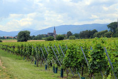 Wine grape cultivation, Alsace, France Royalty Free Stock Photos