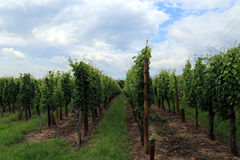 Wine grape cultivation, Alsace, France Stock Images