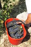 Wine grape during the grape harvest stock photo