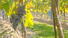 Wine Grape Harvest Royalty Free Stock Photo