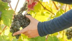Wine Grape Harvest Stock Photos