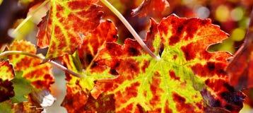 Wine grape leaf... Royalty Free Stock Image