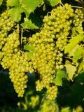 Wine grape outdoors Royalty Free Stock Image