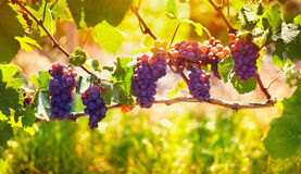 Wine grape Pinot Noir. Sunny bunches of red wine grape Pinot Noir on vineyard in France Stock Image