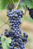 Wine grape Royalty Free Stock Photos