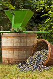 Wine grape still life. Freshly harvested wine grapes spilling from a wicker basket with a wine barrel and a vintage grape crusher Stock Image