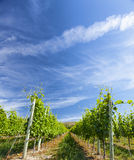 Wine Grape Vineyard on Sunny Summer Day Royalty Free Stock Photos