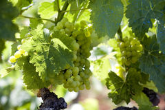 Wine grapes stock image