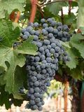 Wine Grapes. Clusters of wine grapes in Napa Valley Stock Photography