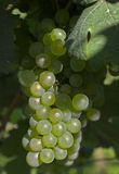 Wine grapes. Ripe wine grapes hanging on the vine Stock Photo