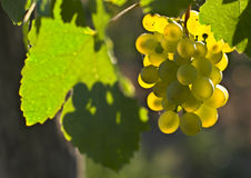 Wine grapes. Ripe wine grapes hanging on the vine Stock Image
