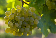 Wine grapes. Ripe wine grapes hanging on the vine Royalty Free Stock Photo