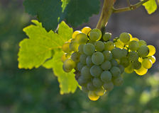 Wine grapes. Ripe wine grapes hanging on the vine Royalty Free Stock Images
