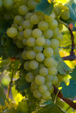 Wine grapes. Ripe wine grapes hanging on the vine Royalty Free Stock Image