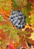 Wine grapes Stock Photo