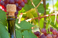 Wine and grapes. Bottle of ripe wine with a stopper close up against grapes Stock Images