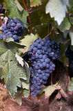 Wine grapes Royalty Free Stock Photo