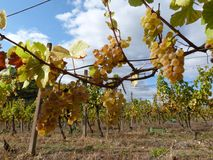 Wine grapes  Royalty Free Stock Images