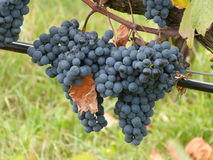 Wine grapes, vintage. Vineyard with fresh blue grapes (Vitis vinifera) just before manual harvest Royalty Free Stock Photos