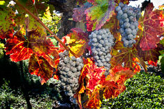Wine Grapes. Three Clusters Of Purple Wine Grapes in Vineyard Stock Photo
